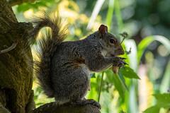 grey squirrel (Theutan1) Tags: calderstonespark nikond3500 nikon squirrel greysquirrel
