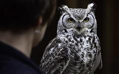 Great horned owl (sharkhats) Tags: birds raptors raptor owls owl z7 nikkor105mm14 greathornedowl nikkor