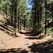 Hiking trail through a pine forest on the way to Chinyero volcano on Tenerife, Spain