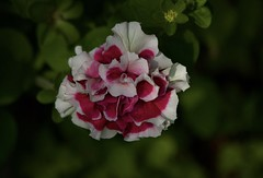 Petunia (Diane Marshman) Tags: petunia annual garden landscape container pot plant red white petals spring summer fall blooming blossom blooms pa pennsylvania nature green leaves bud