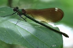 Odonata (Phil Arachno) Tags: france salles leyre insecta arthropoda odonata eos80d canon fieldstack focusstacking heliconfocus