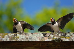 What a goal!!!! (Paul wrights reserved) Tags: swallows swallow fedgling fledlings fledglingswallows bird birding birds wing wings