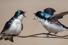 Outdoor voice! (NicoleW0000) Tags: treeswallow songbird birds bird nature wildlife ontario canoneos