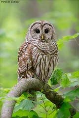 Barred Owl Studio Portrait. (Daniel Cadieux) Tags: owl barredowl perched forest woods ottawa vertical maple stare staring