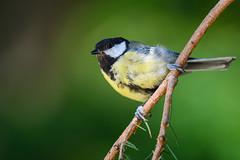 Great Tit (Hishyar H.) Tags: greattit nature wildlife bird songbird nikon d500 deutschland kohlmeise animal tier branch bamberg nikon200500mm