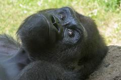 Gorilla (PMillera4) Tags: gorilla primate bronxzoo