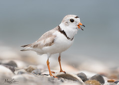 Piping Plover Chick (mlello) Tags: d500 pipingplover plover shorebird shore ocean sand beach chick