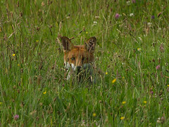 European Red Fox ( Vulpes vulpes)- Whos watching who ?? (Clive Brown 72) Tags: wildlife meadow wales mammal shy grass field vulpine wild woodland redfox fox