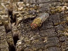 Pollénie du lombric (pollenia rudis) ou mouche des greniers (pierre.pruvot2) Tags: france pasdecalais maraisdeguînes chemindestêtards diptère mouche fly insecte arthropode panasonic lumixg9 olympus60mmmacro