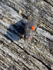Mouche parasitée par la larve rouge d'un acarien (pierre.pruvot2) Tags: parasite acarien larve mouche fly diptère arthropode insecte olympus60mmmacro lumixg9 panasonic france pasdecalais maraisdeguînes chemindestêtards