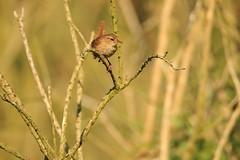 Wren (jon lees) Tags: whitespots country park lead mines newtownards countydown northernireland wildlife bird wren troglodytestroglodytes