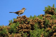 White throat (jon lees) Tags: whitespots country park lead mines newtownards countydown northernireland wildlife bird whitethroat warbler gorse