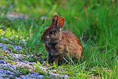 Just a Nibble (Michiale Schneider) Tags: marchbunny animal nature dingdarlingwildliferefuge sanibelisland florida michialeschneiderphotography