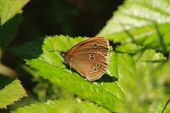 ringlet (jon lees) Tags: whitespots country park lead mines newtownards countydown northernireland wildlife ringlet butterfly
