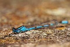 Common Blue Damselfly (jon lees) Tags: whitespots country park lead mines newtownards countydown northernireland wildlife common blue damselfly