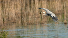 Grey Heron (Ardea cinerea) (Layzeesod) Tags: grey heron ardea cinerea wild bird flight