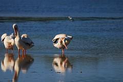 You're Not On My Mind (Michiale Schneider) Tags: pelican white bird animal nature dingdarlingwildliferefuge sanibelisland florida michialeschneiderphotography reflection