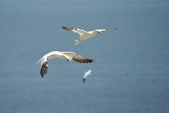 (Andrew_Karter) Tags: salteeisland salteeislands saltee island cowexford countywexford wexford ireland eire