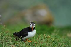 (Andrew_Karter) Tags: puffin puffins salteeisland salteeislands saltee island cowexford countywexford wexford ireland eire