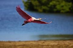 The Spoonbill in Flight at Ding (Michiale Schneider) Tags: spoonbill roseate pink flight bird animal nature dingdarlingwildliferefuge sanibelisland florida michialeschneiderphotography