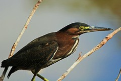 The Stalker (Michiale Schneider) Tags: greenheron bird animal nature dingdarlingwildliferefuge sanibelisland florida michialeschneiderphotography