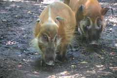 IMG_8539 (neatnessdotcom) Tags: bronx zoo wcs park animal new york city tamron 18270mm f3563 di ii vc pzd canon eos rebel t2i 550d