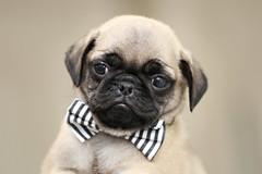 Duke the Pug (jillccarlson) Tags: pug pugpuppy pugs puglife