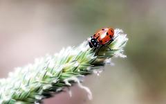 Convergent (TJ Gehling) Tags: insect coleoptera beetle coccinellidae ladybug ladybeetle convergentladybeetle hippodamia hippodamiaconvergens albanyhill albanyca