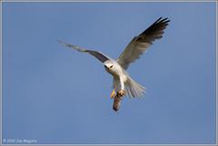 For You, My Sweets 2579 (maguire33@verizon.net) Tags: bif elanusleucurus pradoregionalpark whitetailedkite bird birdofprey kite raptor wildlife