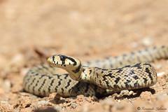 Zamenis scalaris (Fernando_Iglesias) Tags: culebra escalera snake serpiente colubridae rhinechis herping herps reptil reptiles ibéricos juvenil españa ladder