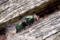 Mouche dorée (lucilia caesar) femelle (pierre.pruvot2) Tags: france pasdecalais maraisdeguînes chemindestêtards arthropode insecte diptère mouche fly panasonic lumixg9 olympus60mmmacro