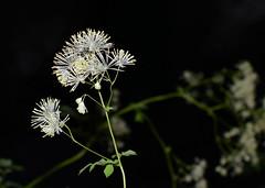 Tall Meadow Rue (jmunt) Tags: wildflower flower meadowrue thalictrumpubescens