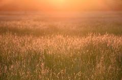 Fields of Gold (Keith Mac Uidhir 김채윤 (Thanks for 8m views)) Tags: kerry ireland ierland irland irlanda irlande irsko irlanti irlandia írország irska irish írẹ́lándì iirimaa killarney national park field meadow grass grassland green yellow gold orange red light sunshine sun sunset nature
