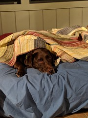 Sleepy Kona (Lake Effect) Tags: kona dog lab labradorretriever chocolate retriever