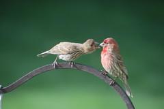 Feeding a Juvenile! House Finches (Saline, Michigan) - June 21st, 2019 (cseeman) Tags: finches housefinches birdfeeder saline michigan birds finches06212019 feeding juveniles