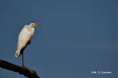 Great Egret 1 (mjcarsonphoto) Tags: sandyridge wildlife northridgeville loraincountymetroparks greategret
