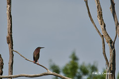Green Heron In A Tree (mjcarsonphoto) Tags: sandyridge wildlife northridgeville loraincountymetroparks greenheron
