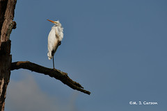 Attention Getting (mjcarsonphoto) Tags: sandyridge wildlife northridgeville loraincountymetroparks greategret