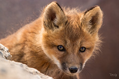 Red Fox Kit (Dan King Alaskan Photography) Tags: redfox fox foxkit vulpesvulpes northslope alaska wildlife wilderness preservewilderness protectwildlife canon80d sigma150600mm