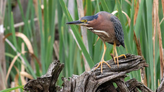 Green Heron (Butorides virescens) (Gary R Rogers) Tags: yelloweyes wild oregon colorimage yellowlegs greenheron bird birds closeup butoridesvirescens colorphoto wildlife awesome animal