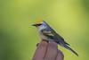 Paruline De Brewster / Golden-wingedxblue-winged Warbler Hybrid