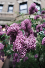 Lilac (JoelZimmer) Tags: 24mmf28 brooklyn florals lilacs newyork nikond750 parkslope