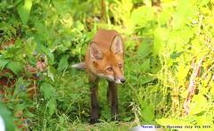 Curious Cub.......... (law_keven) Tags: urbanredfoxcub foxes urbanredfox catford london uk wildlife wildlifephotography photography redfox animals animalphotography fox cubs foxcub