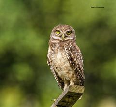 Burrowing owl (Mike_FL) Tags: burrowingowl nikon nikond7500 nature brianpiccolopark tamron100400 florida floridawildlife owls floridabirdingtrail photograph park portrait image