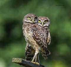 Burrowing owls (juvenile) (Mike_FL) Tags: burrowingowlsjuvenile nikon nikond7500 nature brianpiccolopark tamron100400 florida floridawildlife owls floridabirdingtrail photograph park portrait image