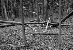 Forest Clearing (mswan777) Tags: forest wood trail hike fallen leaf outdoor nature monochrome ansel black white apple iphone iphoneography mobile new buffalo michigan landscape