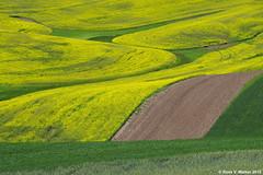 Canola Curves (walkerross42) Tags: canola crop field farm curves palouse washington yellow abstract steptoe hill
