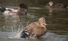 Splash (dicktay2000) Tags: sigma150500 ©richardtaylor australia nsw sydney 20140809img2230