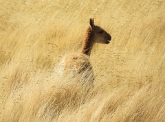 Vicuna grazing in the high-altitude peat bogs of the Andes. (Ruby 2417) Tags: bot marsh wetland peat peatland andes muchado atacama mountains valley grass gold vicuna animal wildlife nature
