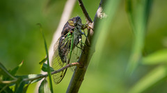 Singing Cicada (NeilCastle) Tags: northcarolina lakecrabtreecountypark bug cicada insect wildlife morrisville